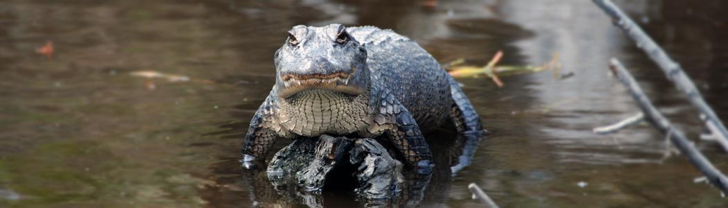 krokodil_1050x300